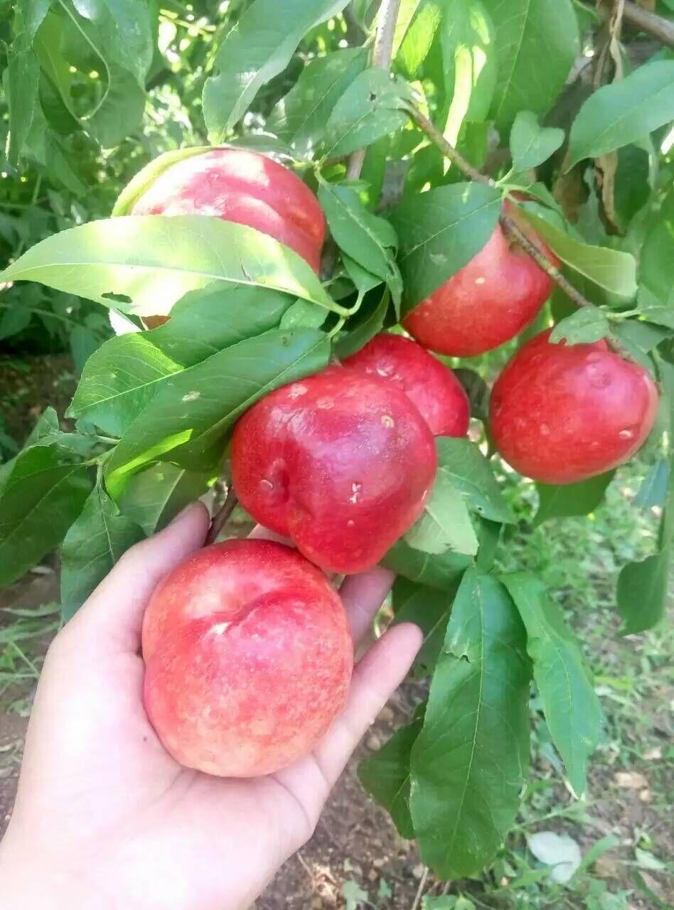 自贡嫁接矮化1公分桃树苗