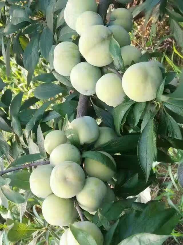 兰州哪里有1公分三红梨树苗