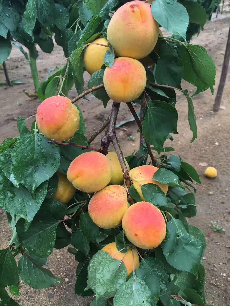 河北邢台盆栽主产区价格樱桃树苗