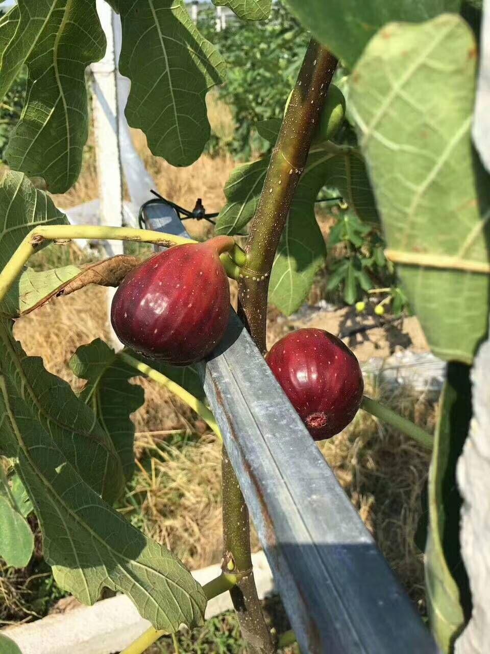 岳阳哪里的三红梨树苗