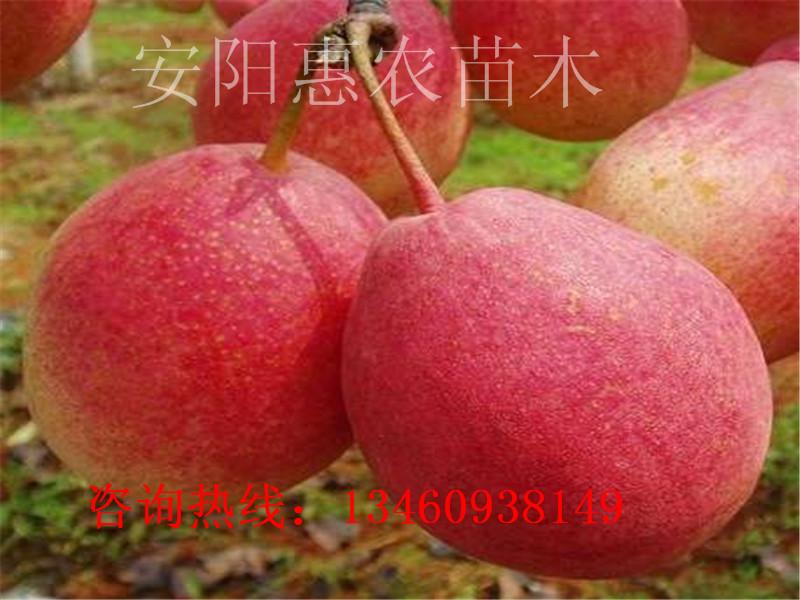铜仁18年苹果苗、本溪苹果苗介绍、宁波苹果苗
