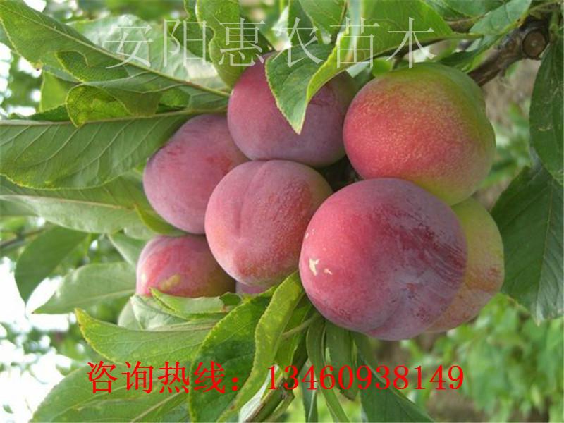 鞍山18年杏树苗、衡阳杏树苗产地、呼和浩特杏树苗