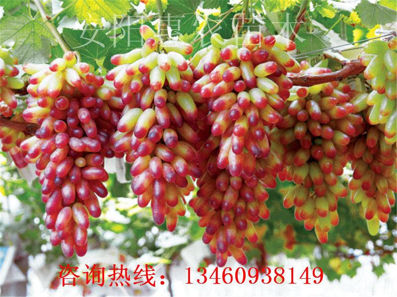 汕尾18年梨树苗、温州梨树苗培育、萍乡梨树苗