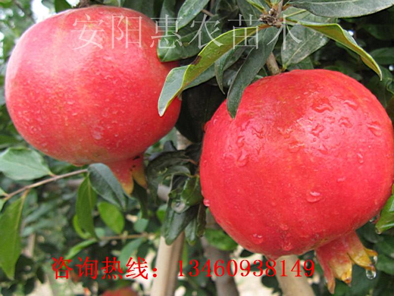 荆州18年桃树苗、防城港桃树苗种植、宣城桃树苗