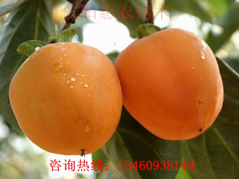 宜春哪里卖柿子苗、南平柿子苗简介、赣州柿子树苗