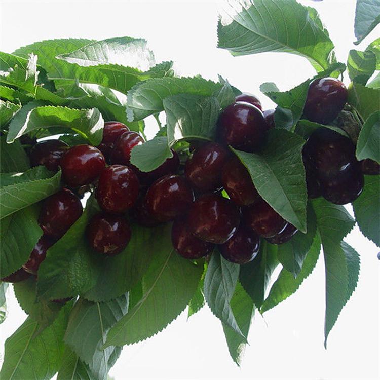 株洲4公分5公分樱桃树