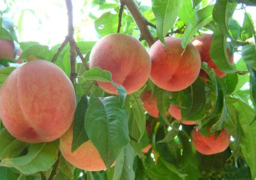 潍坊有机蜜桃专业供应-有机蜜桃