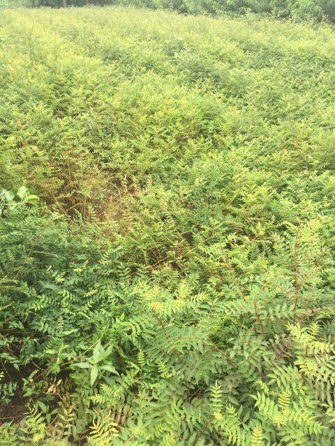 河南郑州冰糖李子树苗种植方法