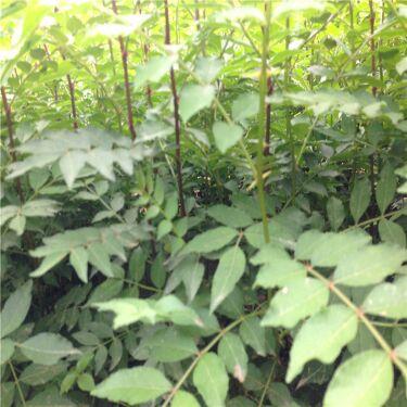 新疆克孜勒苏狮子头花椒树苗种植方法