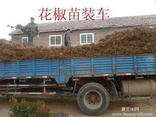 新疆昌吉狮子头花椒树苗产品图片