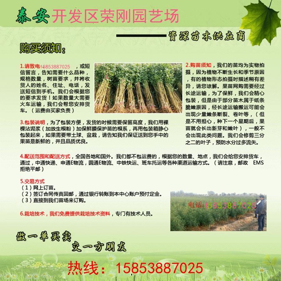河南鹤壁烟富111号苹果苗技术资料