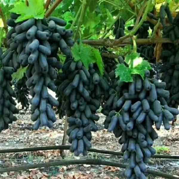 陕西扦插甜蜜蓝宝石葡萄苗哪里便宜