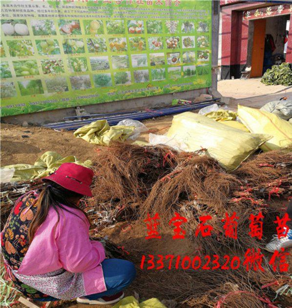 上海04甜蜜蓝宝石葡萄苗销售