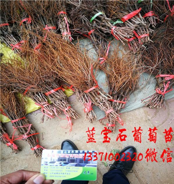 湖南扦插东方蓝宝石葡萄苗新报价