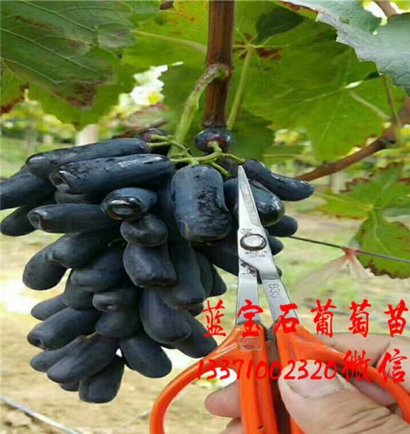 辽宁05蓝宝石葡萄苗便宜