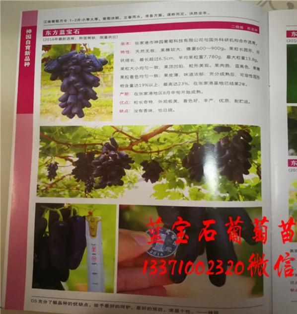 吉林东方蓝宝石葡萄苗品种介绍