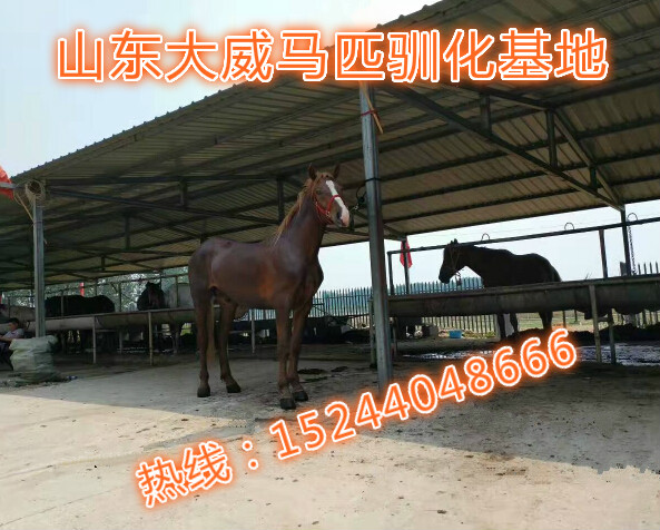 哪里有大型的养马场德保矮马骑乘矮马出售