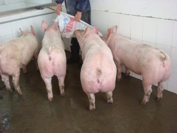 沈阳3月份太湖母猪价格