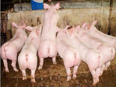 江门3月份小猪价格行情