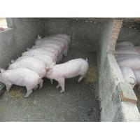 汕头仔猪价格供应