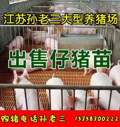 长宁县提供太湖黑母猪