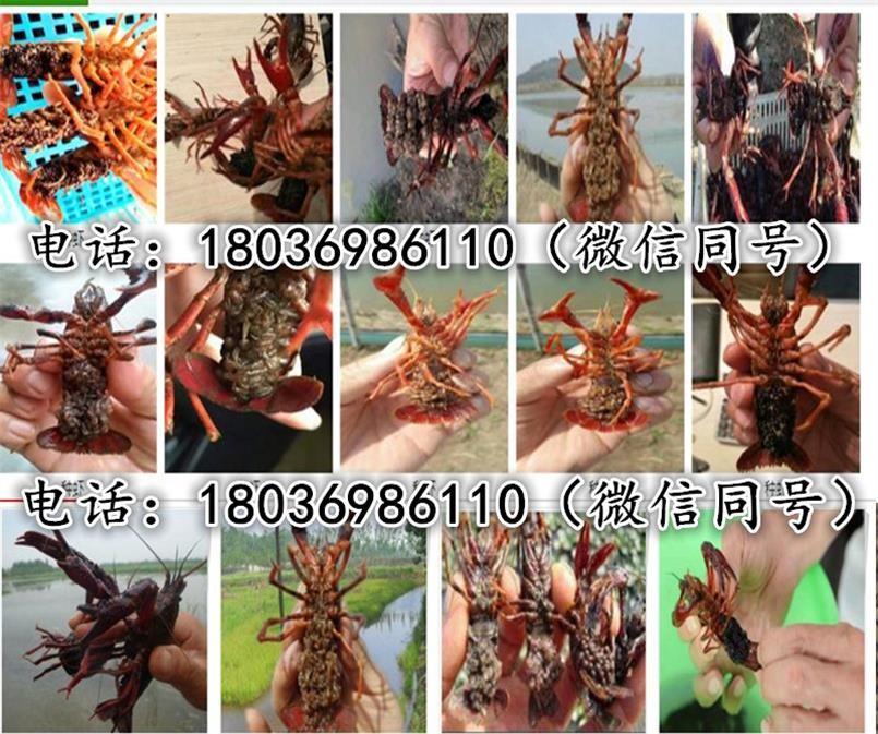 仙桃小龙虾苗多少钱-龙虾苗-小龙虾幼苗批发报价