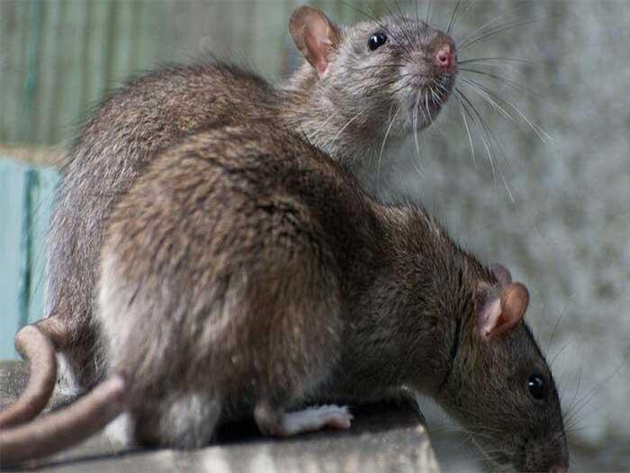 宁夏灭鼠丨 银川灭鼠青青草网站丨宁夏金卫士丨银川灭鼠
