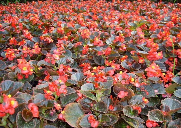哪里有提供好的开花四季海棠、山东开花四季海棠