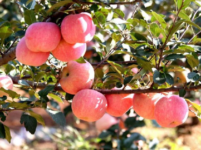 新疆红富士苹果-想要优质的红富士苹果就来弥乐园农业