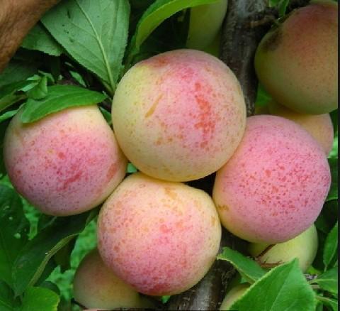 牡丹江、延边、鸡西、白山出售果树苗占地苗