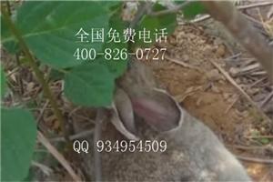 福州杂交野兔河南肉兔价格
