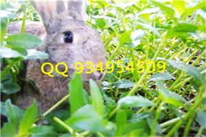 广西壮族自治河池什么品种的兔子好养
