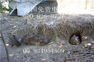 宿州杂交野兔
