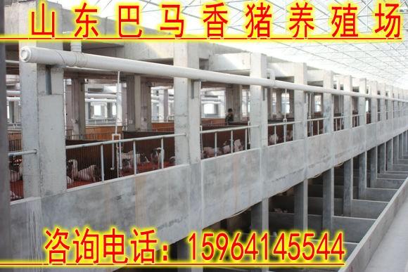 漳州市投资3万元能养多少只香猪在哪里有养殖巴马香猪的