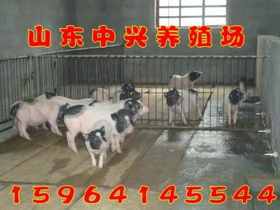 平凉市巴马香猪猪猪出售价格可以饲养巴马香猪吗