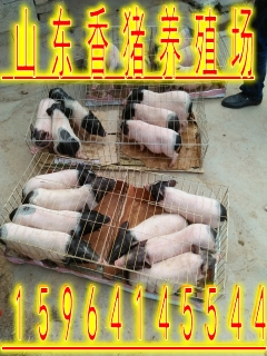 德阳市哪里有香猪养殖厂巴马香猪的饲养技术