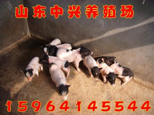 贺州市哪里有养过巴马香猪的巴马香猪种猪什么价格