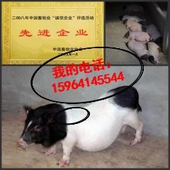 林芝地区巴马香猪的养殖前景怎么样附近有饲养巴马香猪的吗