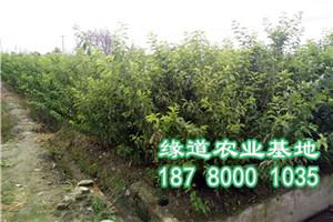 贵州李子树苗,李子苗培育基地