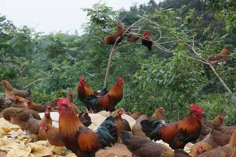 贵州土鸡苗批发商家、贵州土鸡苗批发价格、贵州土鸡苗哪家实惠、贵州土鸡苗养殖中心