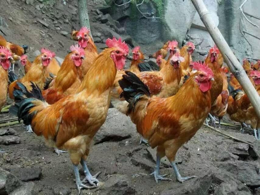 贵阳土鸡苗孵化场批发价格、贵州肉鸡苗哪家实惠、 贵阳肉鸡苗多少钱一只