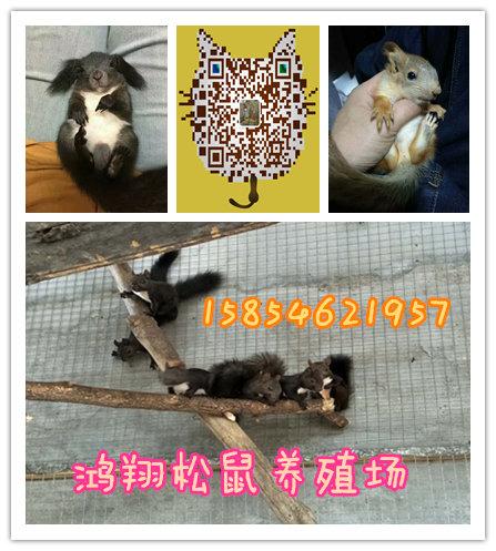 松鼠价格宁夏哪里有卖宠物松鼠小松鼠多少钱