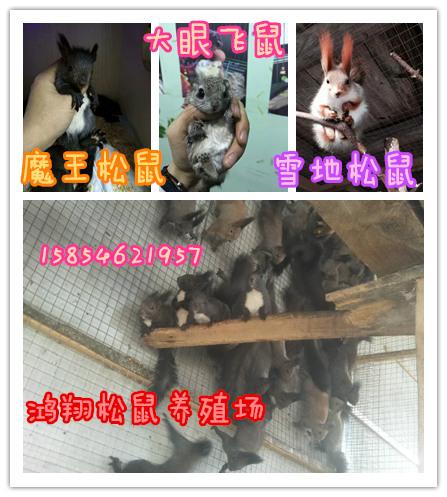 松鼠种鼠北京哪里有卖魔王松鼠养殖松鼠利润_云南商机网招商代理信息