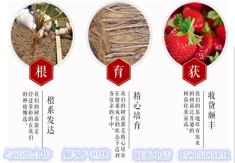 广西百色柱状梨树苗哪里能买到、亩产量如何