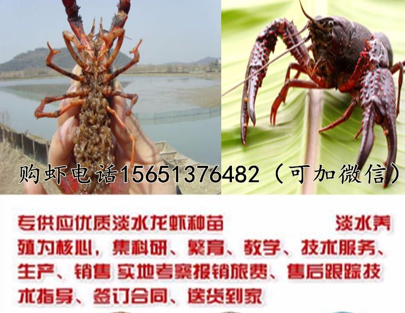 楚雄出售龙虾种当前龙虾苗