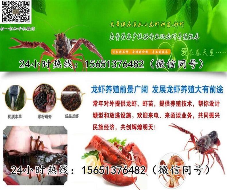 鹤山小龙虾苗钱柜娱乐官网批发龙虾种苗养殖