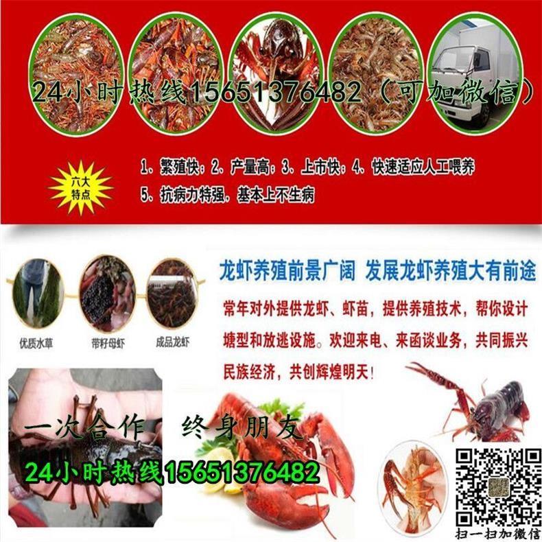 余姚龙虾种苗出售批发龙虾种苗养殖