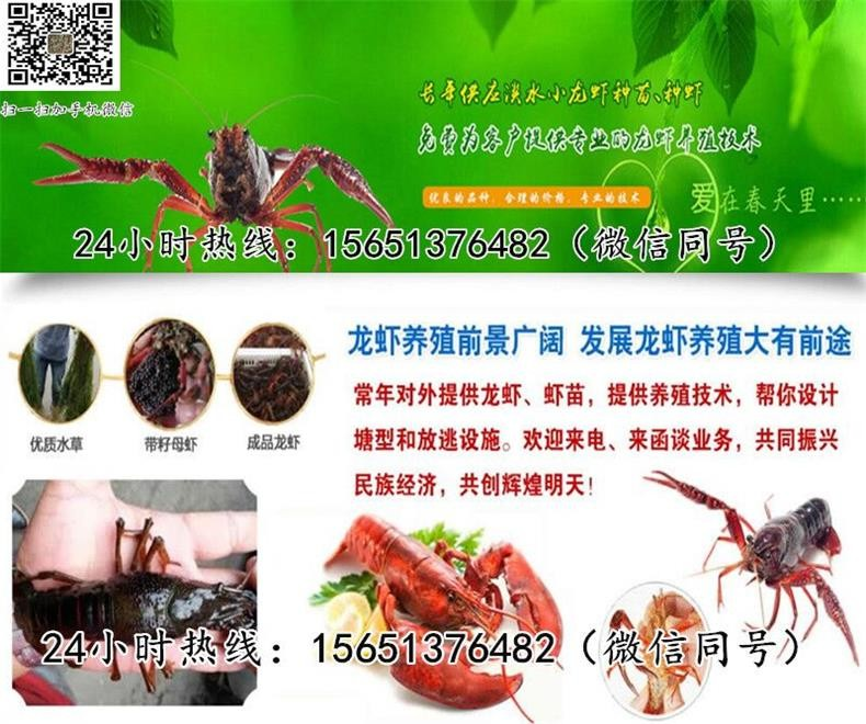 日照龙虾虾苗批发多少一斤提供养殖技术