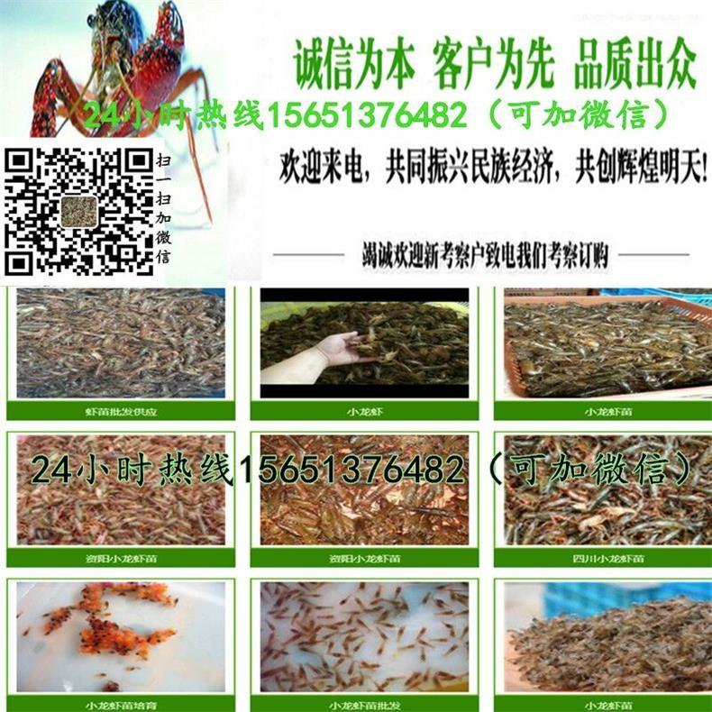 漳平龙虾虾苗批发养殖场龙虾苗