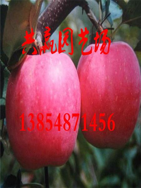 河南河南哪里卖有盆栽苹果树上车才卖多少钱